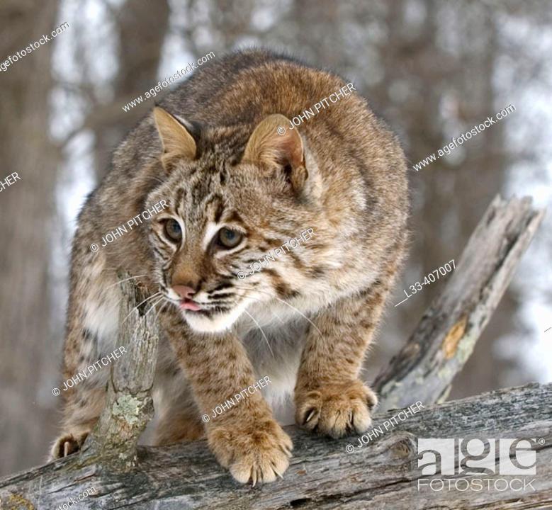 Stock Photo: Bobcat (Lynx rufus) close up.