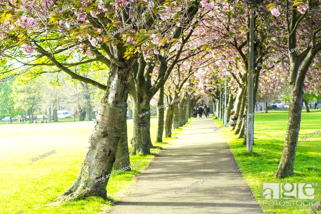 Stock Photo: People walking in The Meadows under Japanese cherry trees blossom, Edinburgh, Scotland, United Kingdom.
