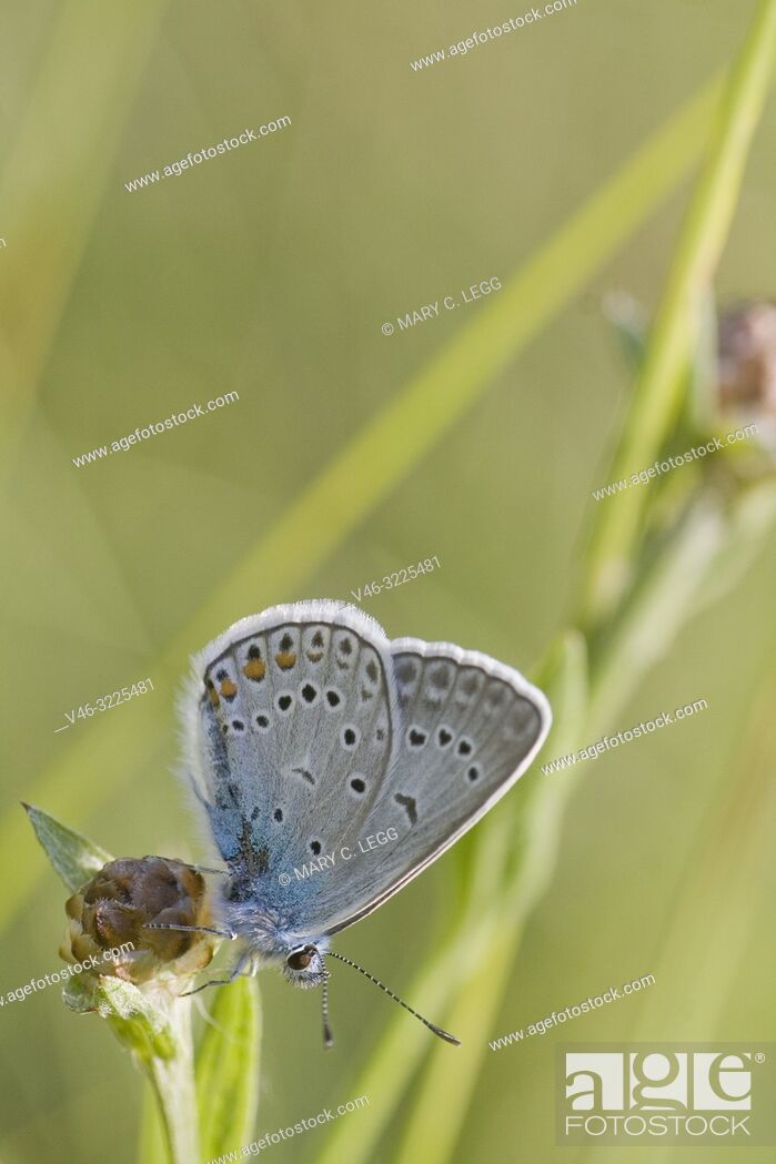 Stock Photo: Amanda's Blue, Polyommatus amandus.