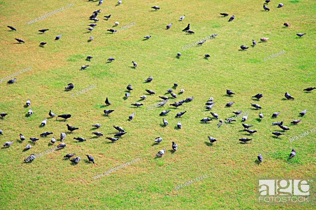 Stock Photo: Birds ; pigeon and Green Grass at Parsi Gymkhana Club ; play  ground