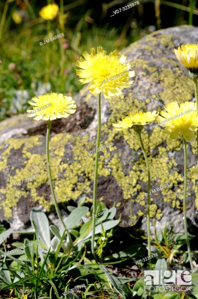 Stock Photo: Mouse-ear hawkweed (Hieracium pilosella or Pilosella officinarum) is a perennial medicinal herb native to Europe and north Asia.