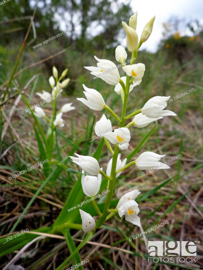 Stock Photo: Narrow-leaved Helleborine (Cephalanthera longifolia).