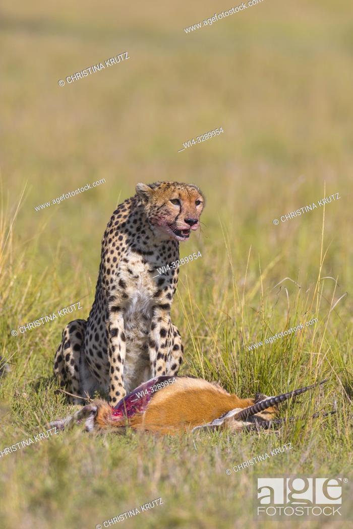 Stock Photo: Cheetah (Acinonyx jubatus) with Thomson's Gazelle Prey, Maasai Mara National Reserve, Kenya, Africa.