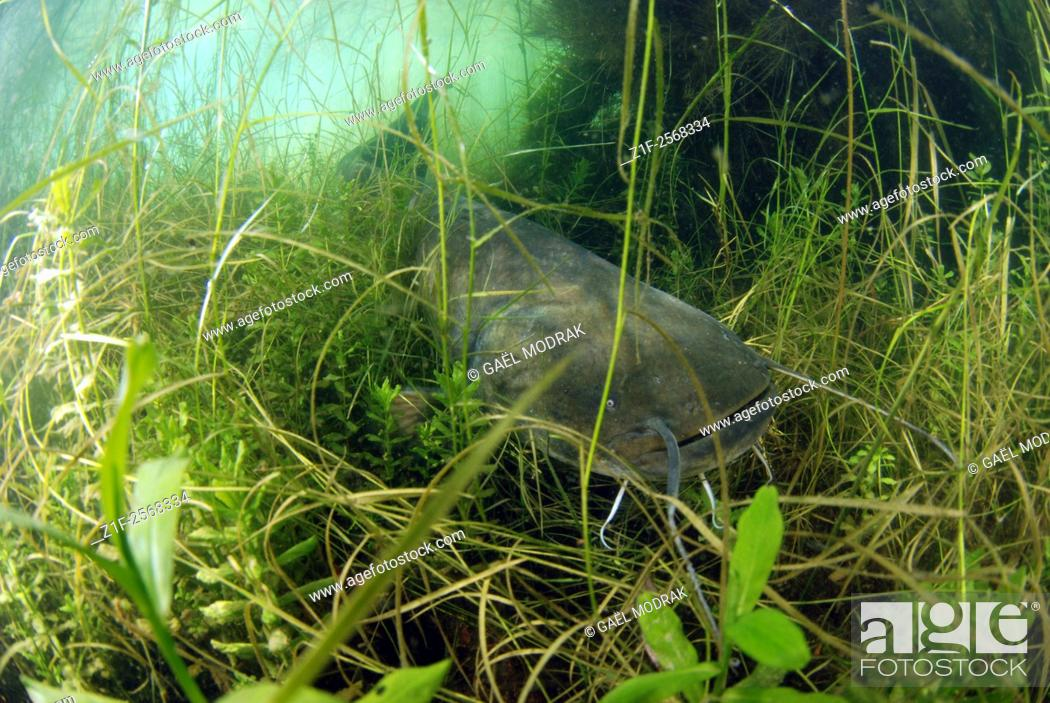 Stock Photo: Wels catfish in a lake in France. Silurus glanis.