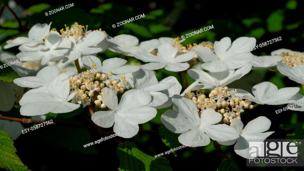 Stock Photo: Japanese snowball, Viburnum plicatum, close up of the flower head.