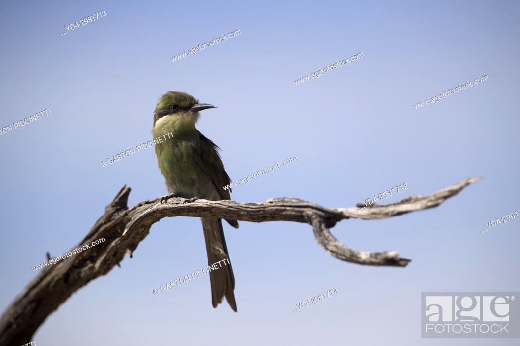 Stock Photo: Little bee-eater ( Merops pusillus Ground), Kgalagadi Transfrontier Park, Kalahari desert, South Africa/Botswana.
