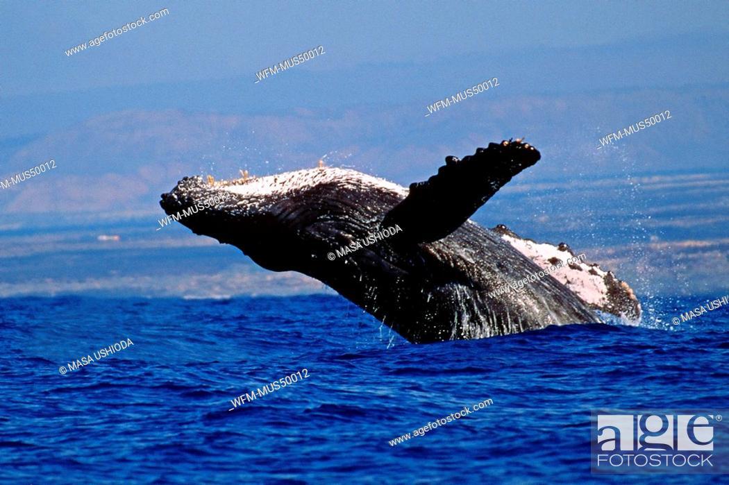 Stock Photo: humpback whale breaching, Megaptera novaeangliae, Pacific Ocean, Hawaii, USA.