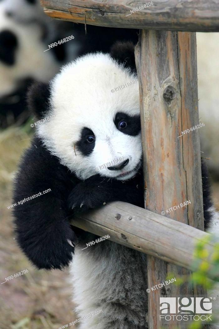 Stock Photo: Panda.