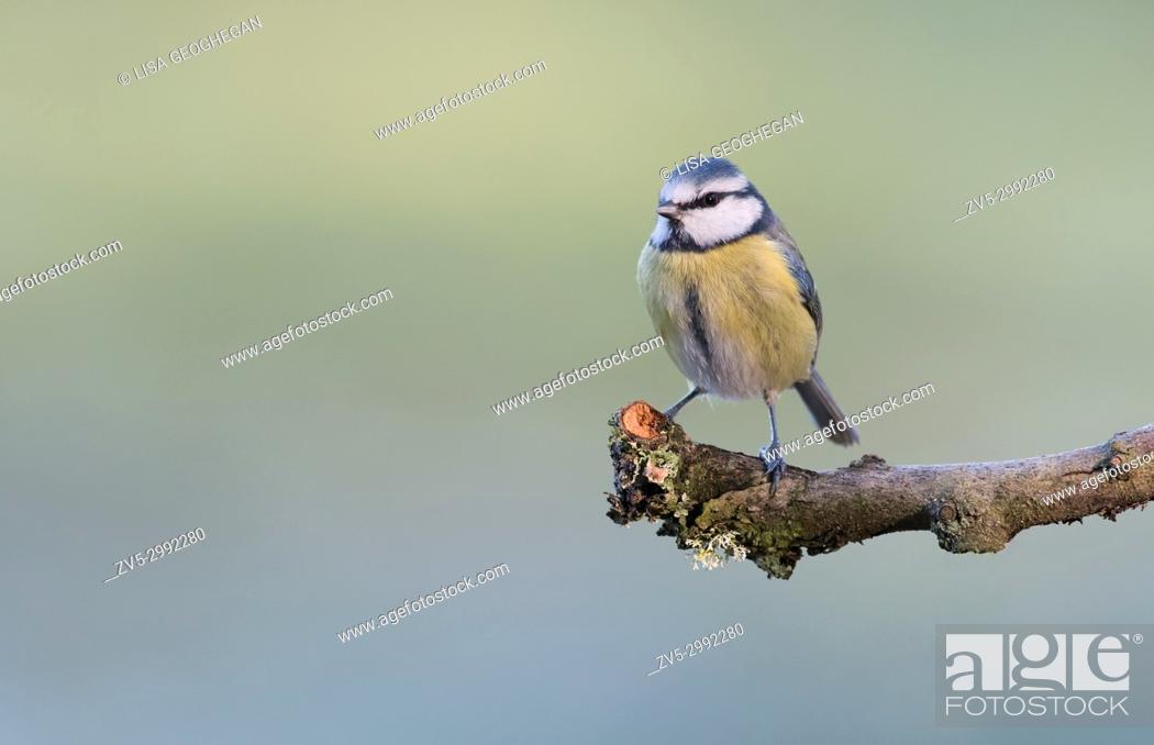 Imagen: Blue Tit- Parus caeruleus. Uk.