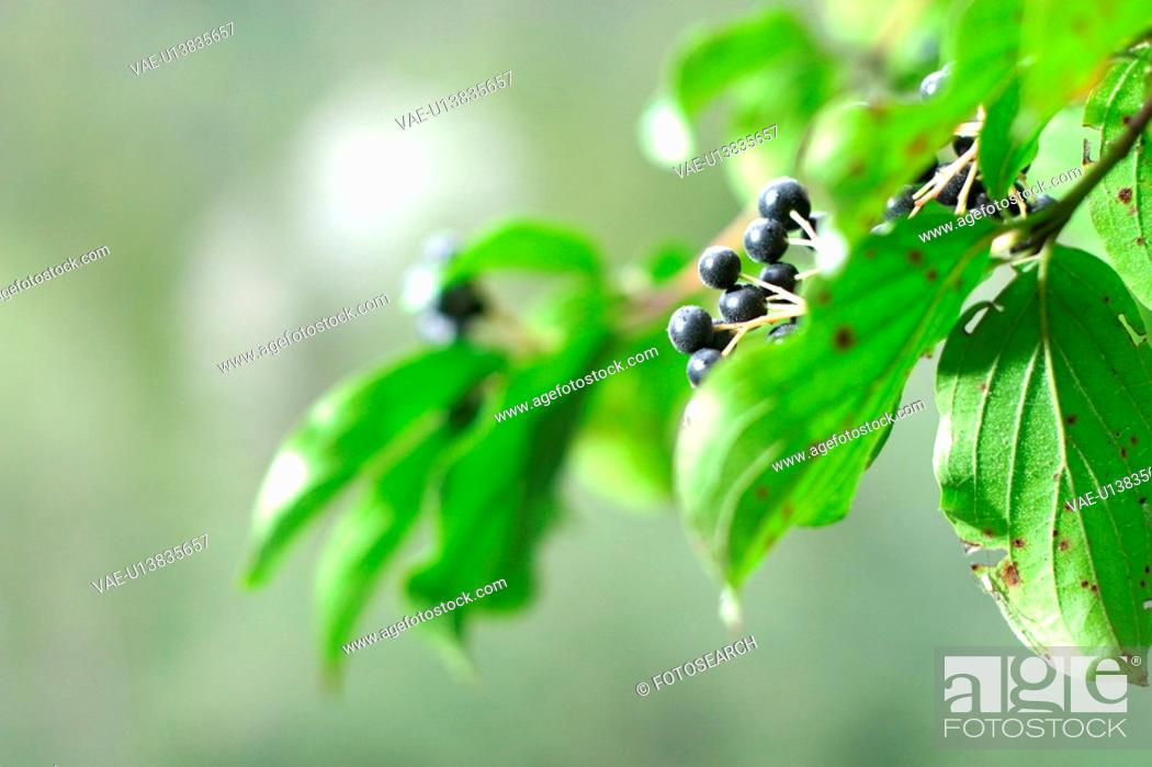Stock Photo: berry, CH, branch, black, autumn.