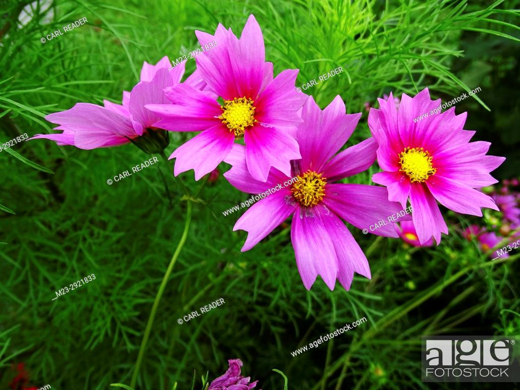 Stock Photo: A group of cosmos flowers seem to tumble over each other, Pennsylvania, USA.