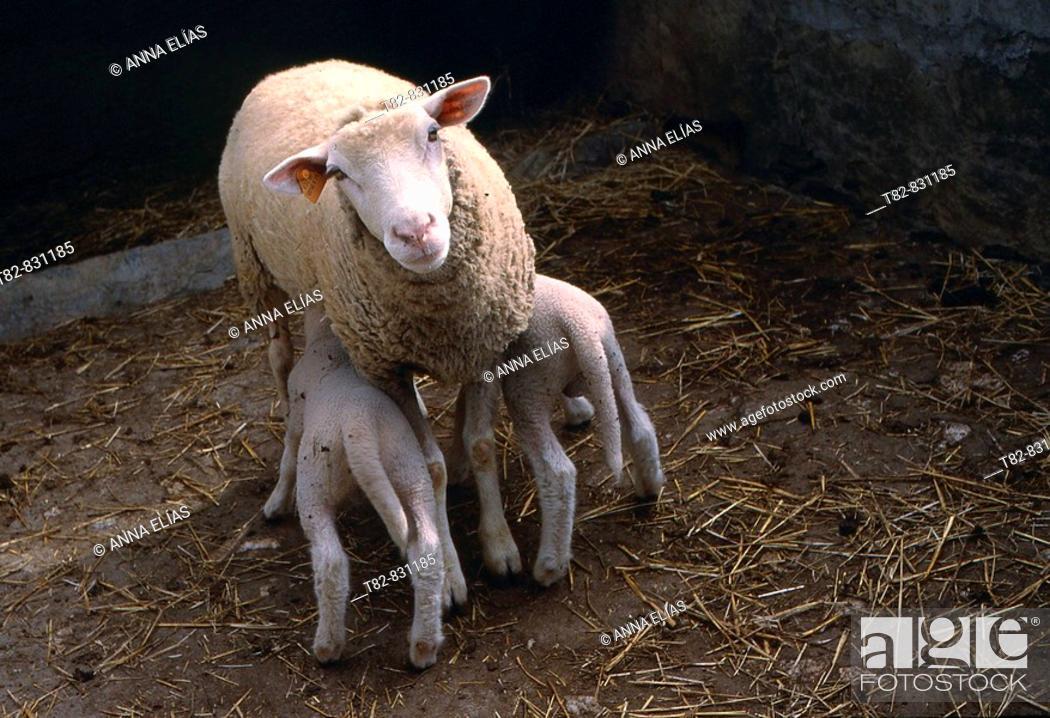 Stock Photo: Sheep suckling. Alentejo, Portugal.