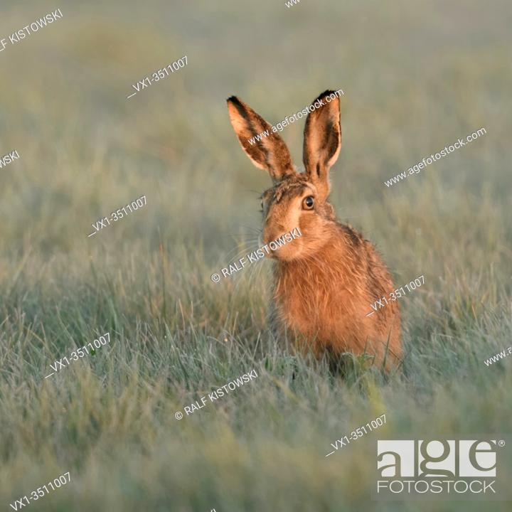 Stock Photo: Brown Hare / European Hare / Feldhase ( Lepus europaeus ) sitting in grass, watching curious but carefully, first morning light, wildlife, Europe.