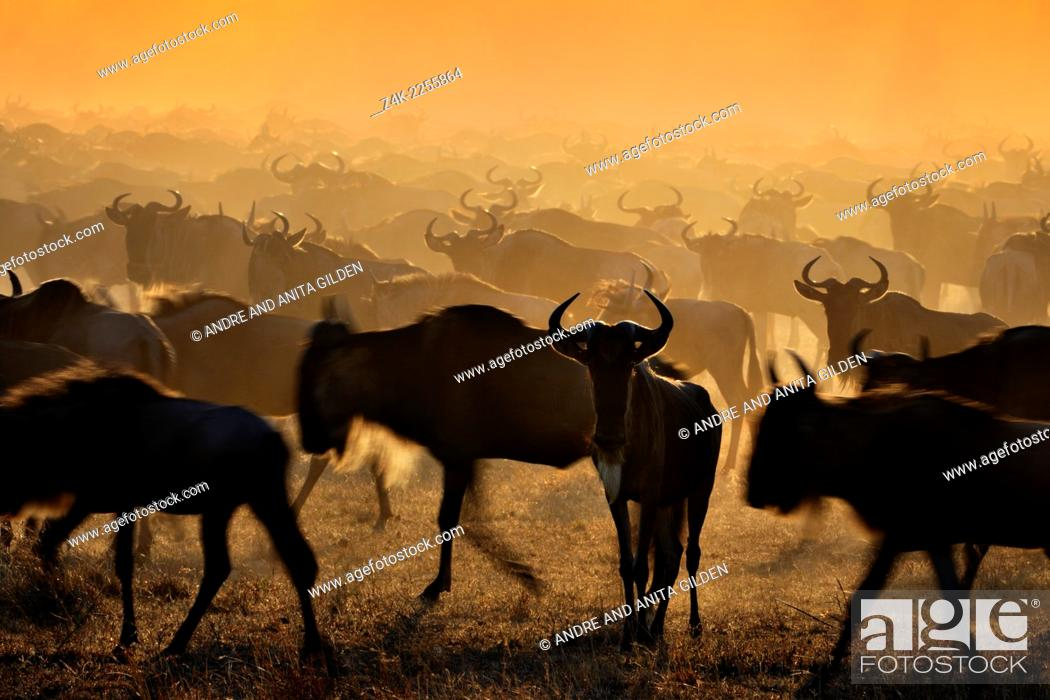 Imagen: Wildebeests (Connochaetes taurinus) migrating at sunrise, Grumeti river, Seregeti national park, Tanzania.