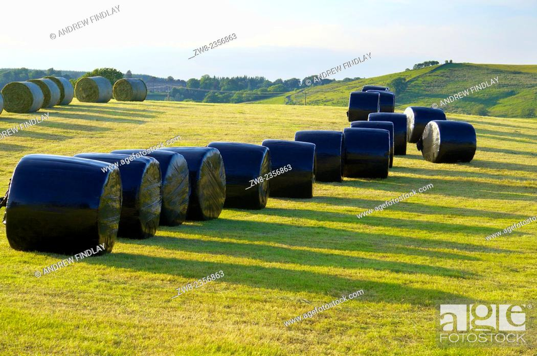 Stock Photo: Silage bales rapped in black plastic in a field. Gilsland, Cumbria, England, UK.