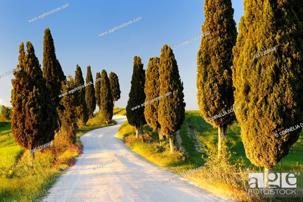 Stock Photo: Rural road with cypress trees, Val d'Orcia, Orcia Valley, Fields and cypress trees, Tuscany Landscape, UNESCO world heritage site, Pienza, Siena Province.