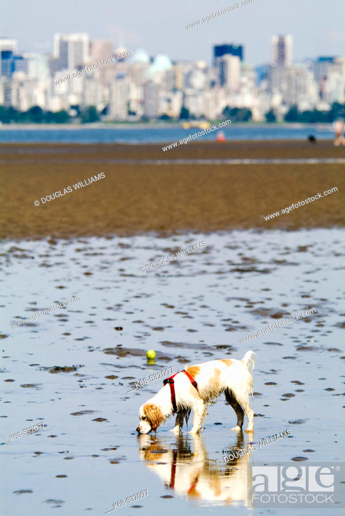 Stock Photo: Dog, Spaniel, at the beach, Spanish Banks, Vancouver, BC, Canada.