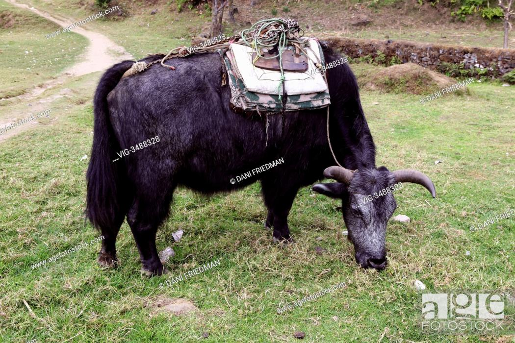 A dzo (a hybrid cross between a yak and a domestic cow