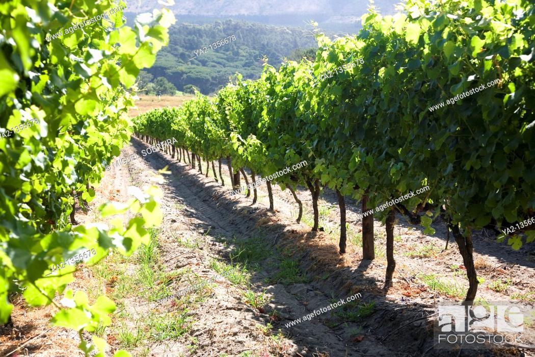 Stock Photo: Buitenverwachting Wine Estate Vines.