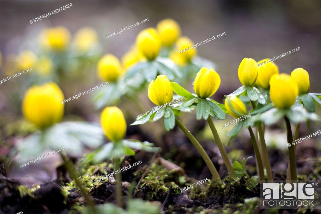 Stock Photo: closed Winterling blossoms in rainy weather and overcast heaven, Eranthis hyemalis, Ackerwurz, Knobelblumen, Tossing, released, medium close-up.