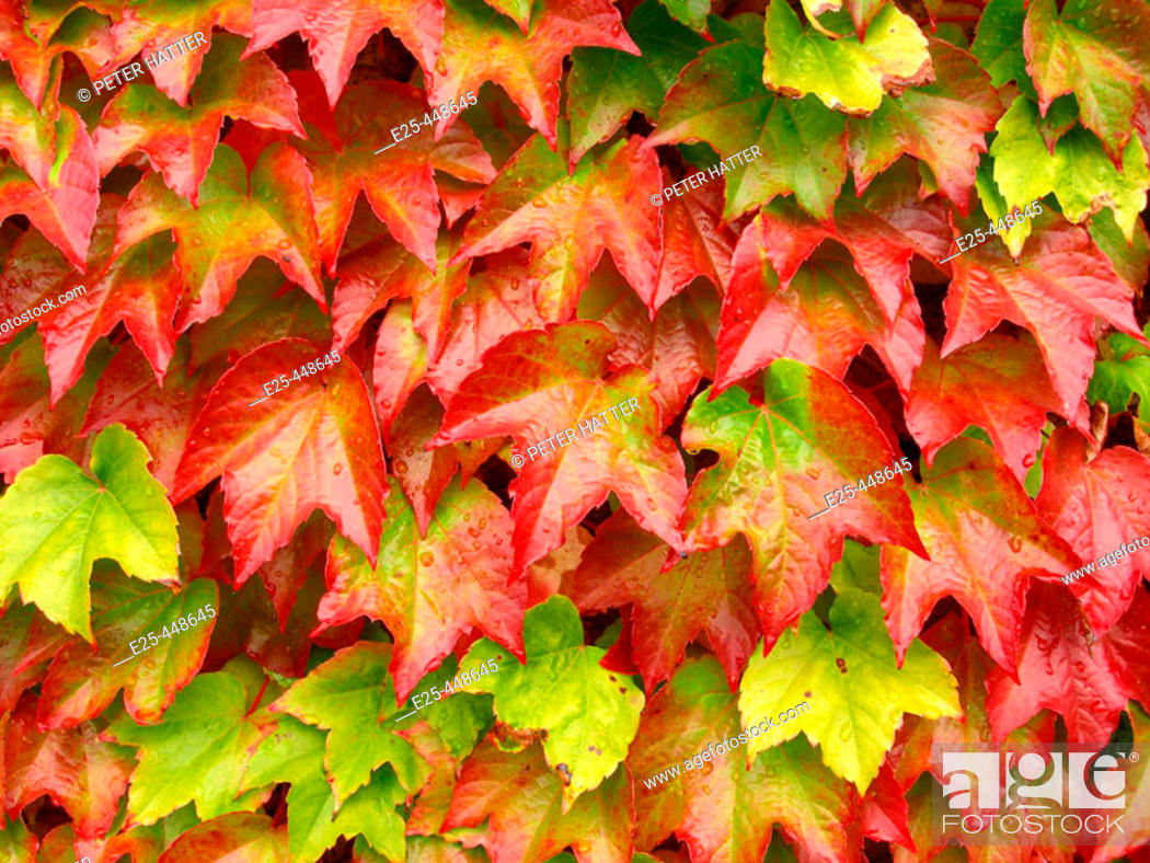 Stock Photo: Green Leaves Turning Red In Autumn.