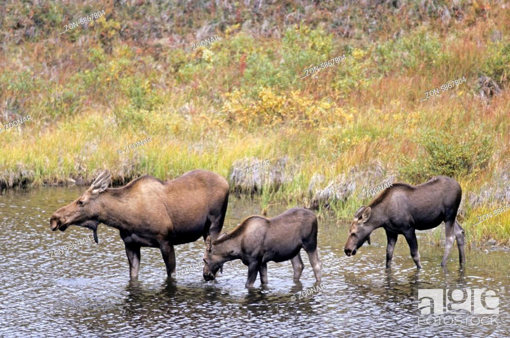 Stock Photo: Elchkuh und Kaelber in einem Tundrasee - (Alaska-Elch) / Cow Moose and calfs standing in the tundra lake - (Alaska Moose) / Alces alces - Alces alces (alces).