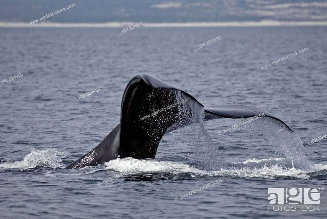Stock Photo: Southern Right Whale (Eubalaena australis), caudal fin, South Africa.
