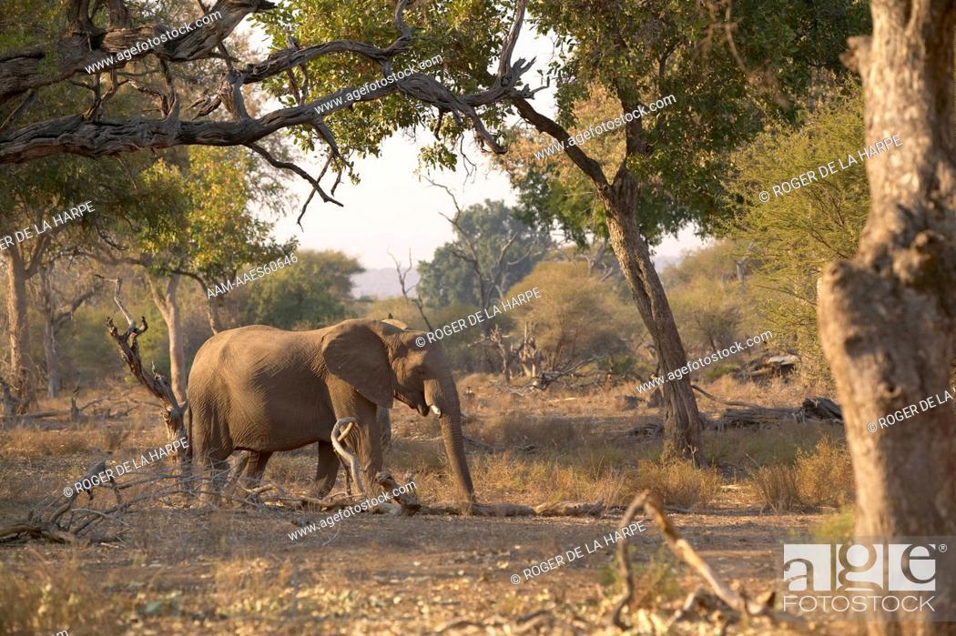 Stock Photo: African Elephant (Loxodonta africana) walking in riverine bush. Northern Tuli Game Reserve. Botswana.