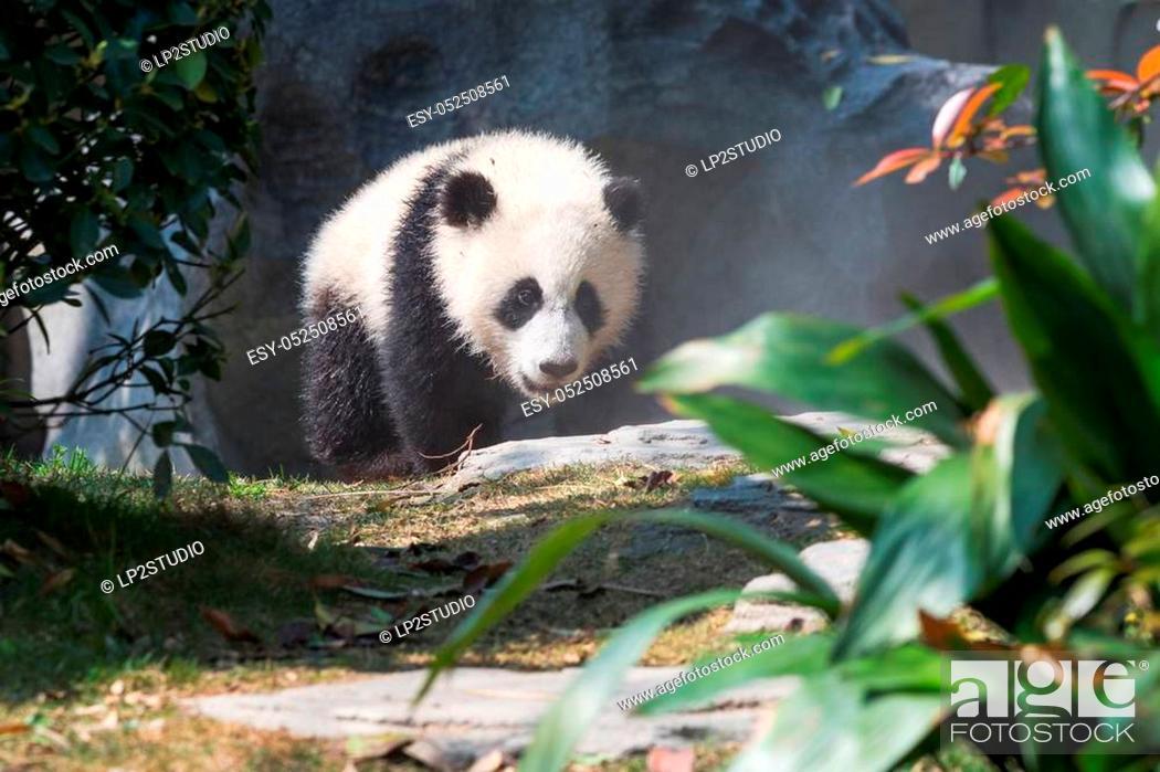 Stock Photo: Panda cub walking in sunshine, Chengdu, China.