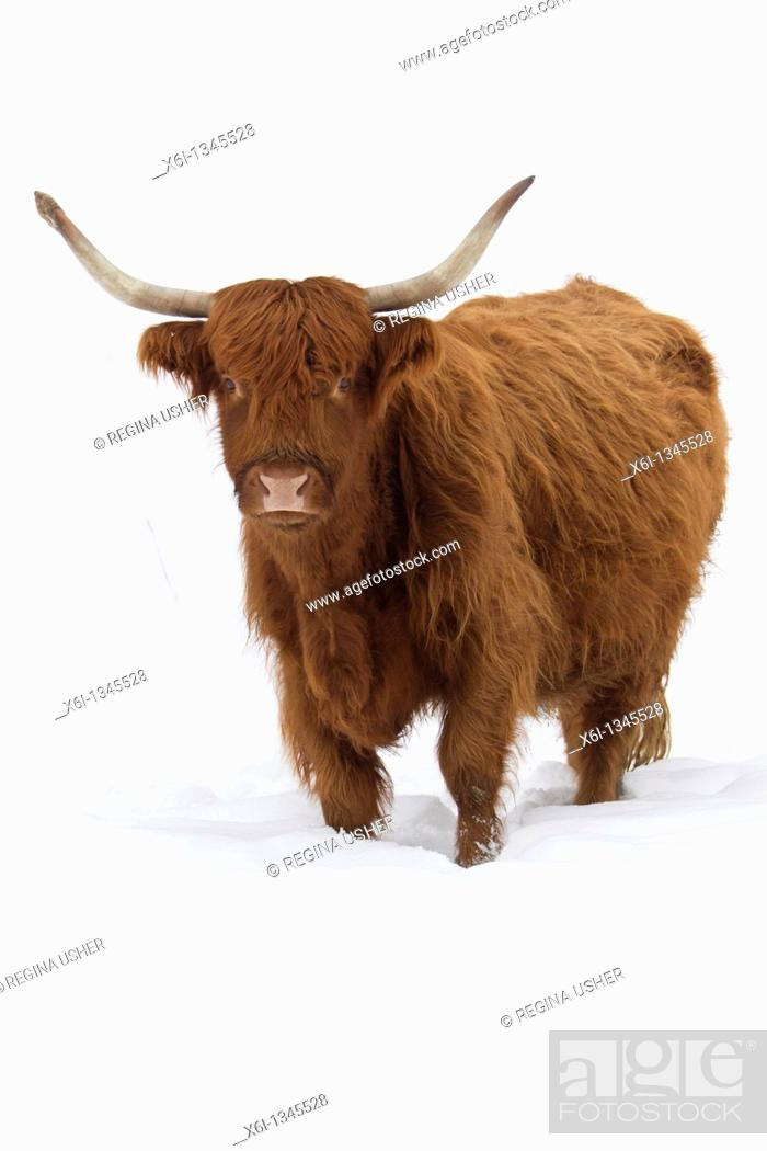 Stock Photo: Highland Cow on snow covered field, in winter.