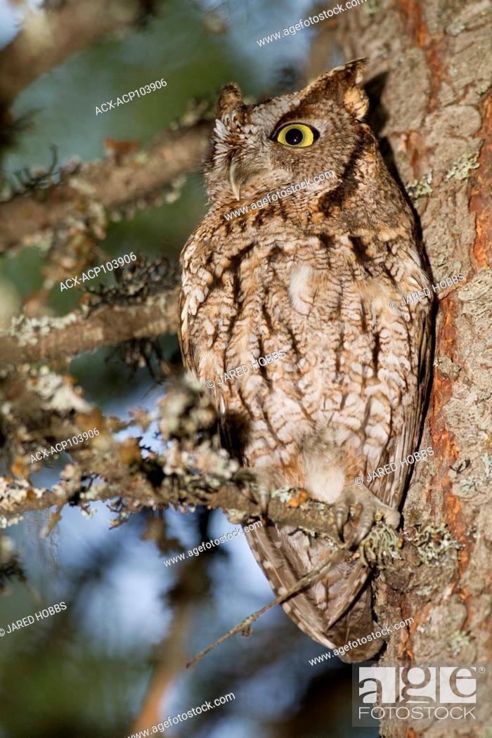 Stock Photo: Western Screech Owl, Megascops kennicottii macfarlanei, camouflage in a tree, British Columbia, Lillooet, Okanagan,, British Columbia, Canada.
