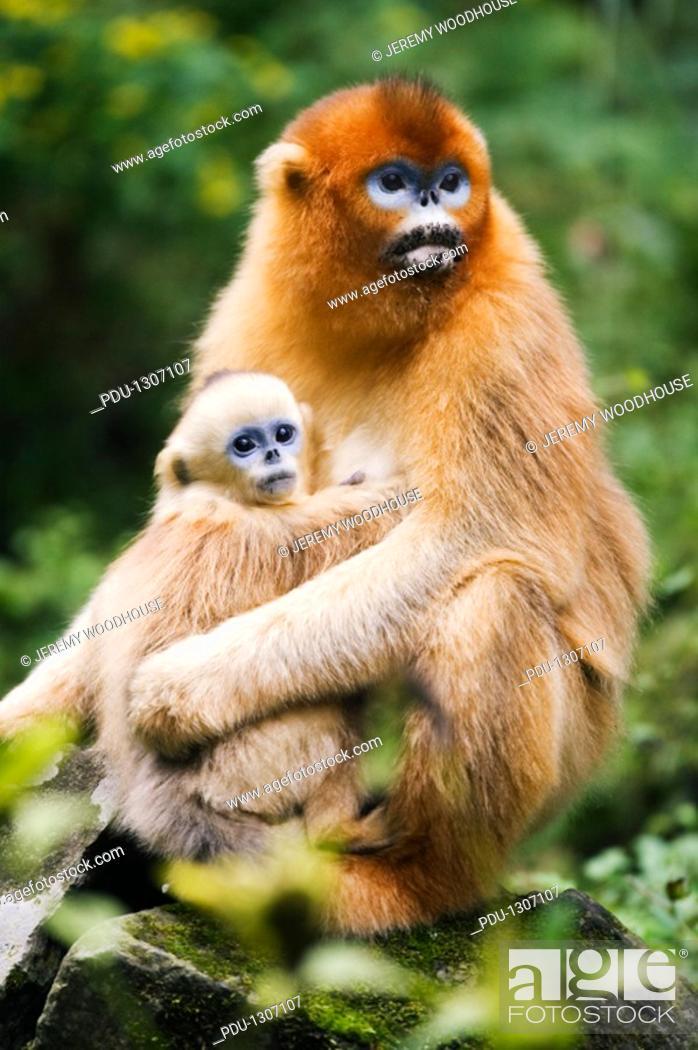 Stock Photo: China, Shaanxi Province, golden monkeys Rhinopithecus roxellana in tree.