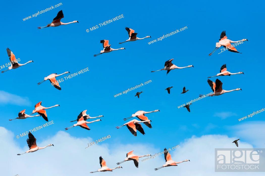 Photo de stock: Flock of Chilean Flamingos (Phoenicopterus chilensis), Torres del Paine National Park, Chilean Patagonia, Chile.