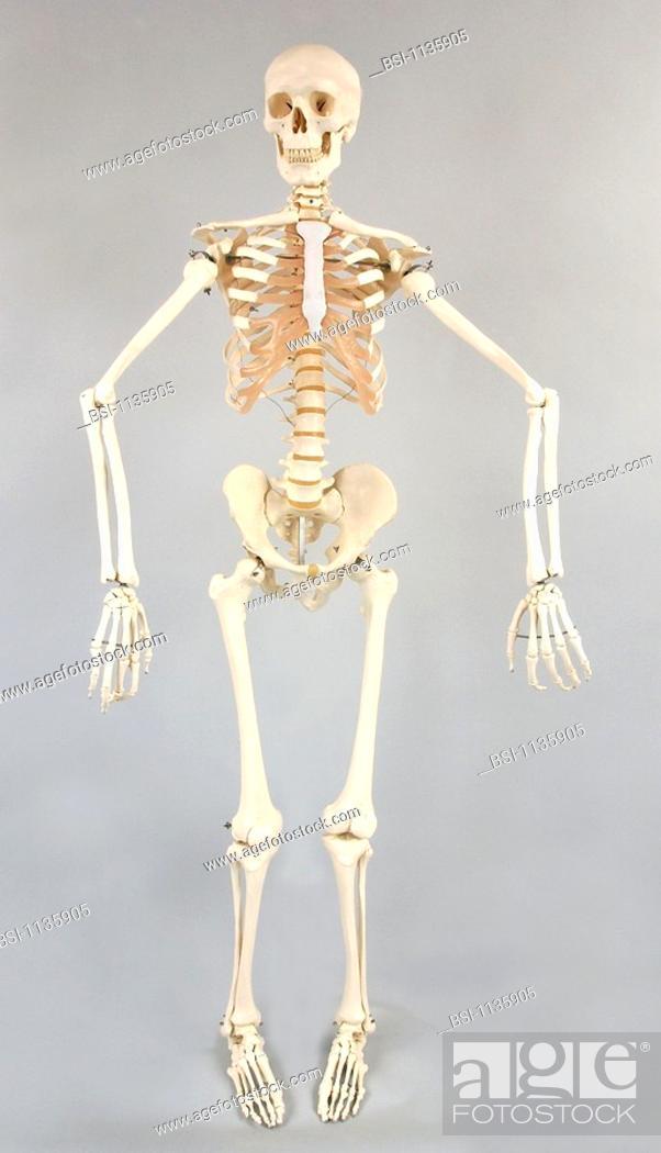 Skeletonbranatomical Model Of An Adult Human Skeleton Standing