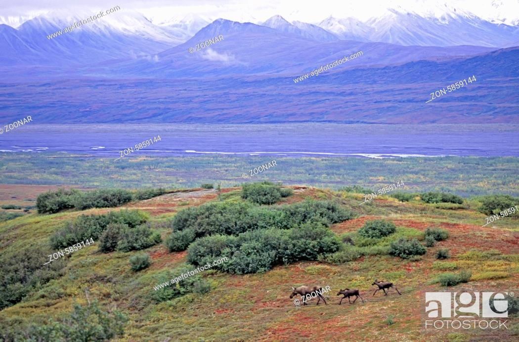 Stock Photo: Elchkuh und Kaelber in der Tundra - (Alaska-Elch) / Cow Moose and calfs in the tundra - (Alaska Moose) / Alces alces - Alces alces (alces).