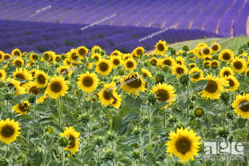 Stock Photo: Sunflower field blooming near lavender fields during summer in Valensole plain of Provence France.