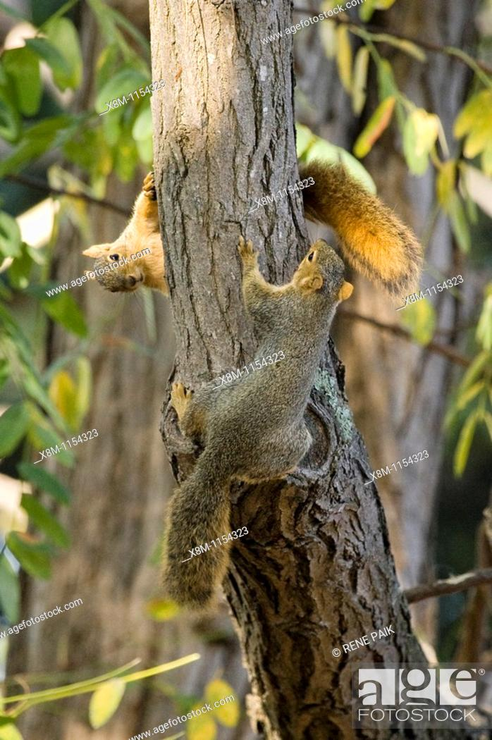 Stock Photo: Immature Fox Tree Squirrel siblings (Sciurus niger) chasing each other around the trunk of a tree.