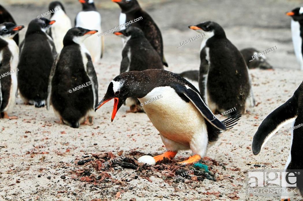 Stock Photo: Gentoo Penguin(Pygoscelis papua papua), Saunders Island, Falkland Islands, UK.