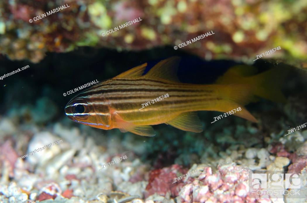 Stock Photo: Yellow-lined Cardinalfish (Ostorhinchus chrysotaenia), Manta Channel dive site, Karang Makassar, north Rinca Island, Komodo National Park, Indonesia.