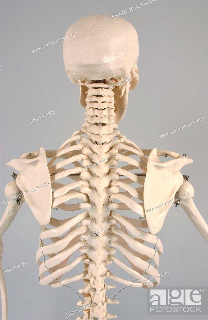 Skeleton Vertebrabranatomical Model Of The Skull And Torso Of An