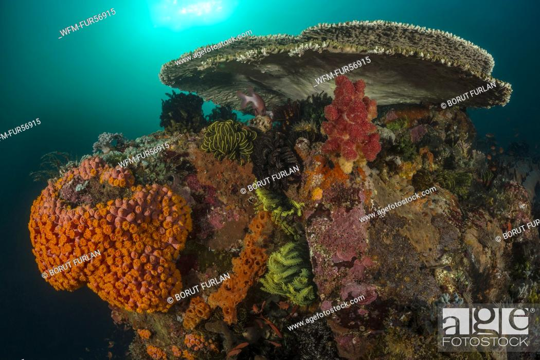 Stock Photo: Colored Coral Reef, Tubastrea faulkneri, Komodo, Indonesia.