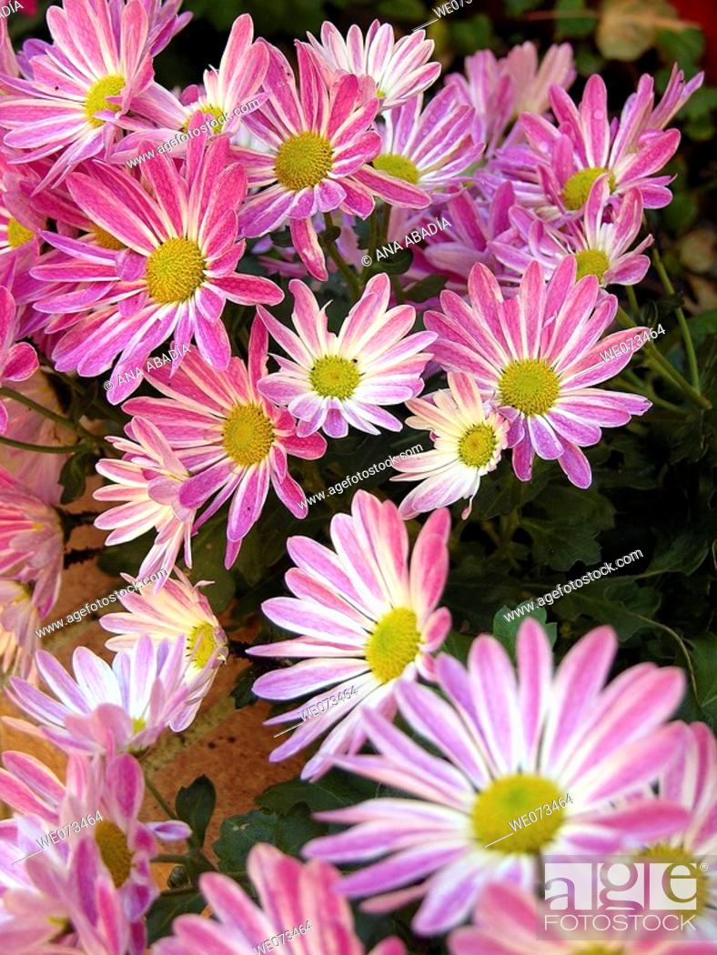 Stock Photo: Pink daisies.