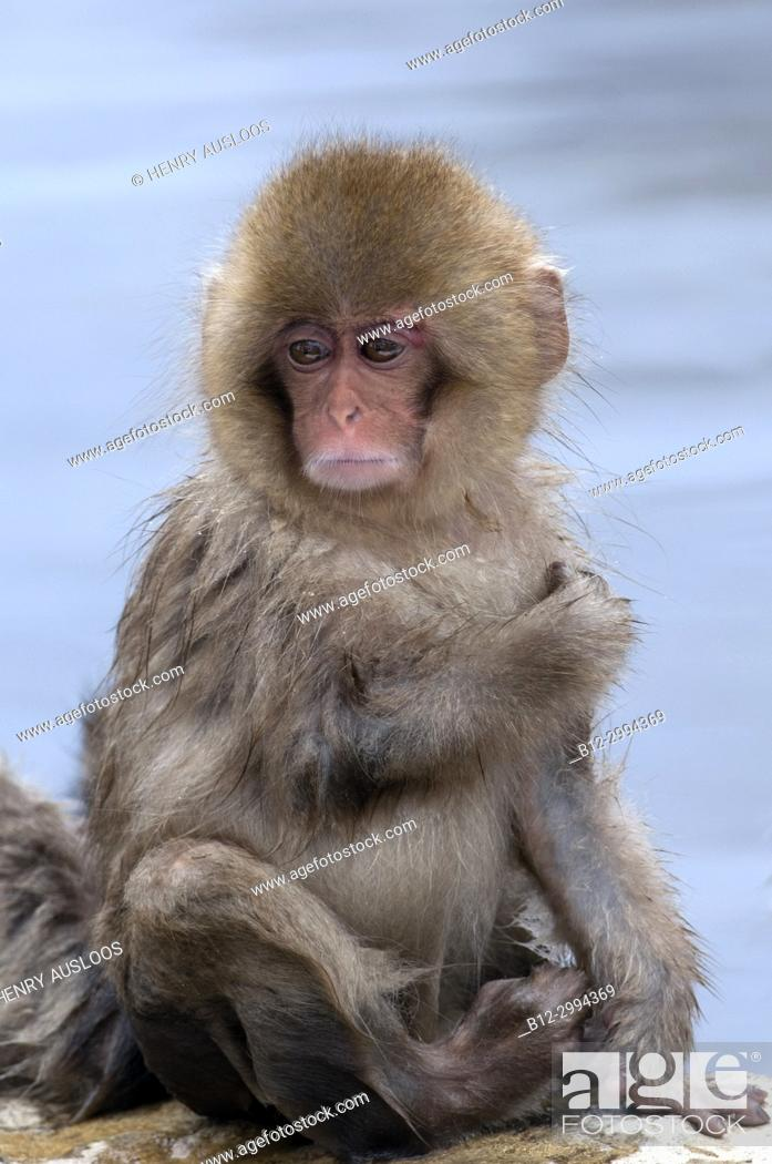 Stock Photo: Japanese macaque or snow japanese monkey, young (Macaca fuscata), Japan.