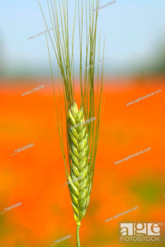 Stock Photo: Ear of wheat.