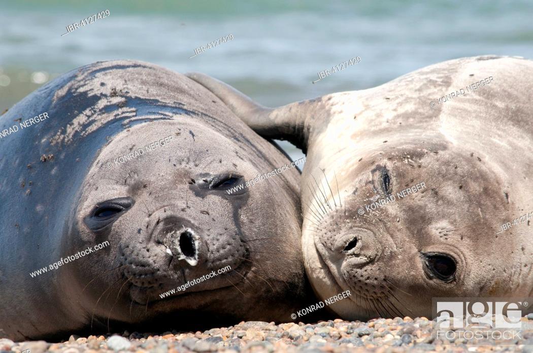 Stock Photo: Southern elephant seals (Mirounga leonina), near Punta Ninfas, Argentina.