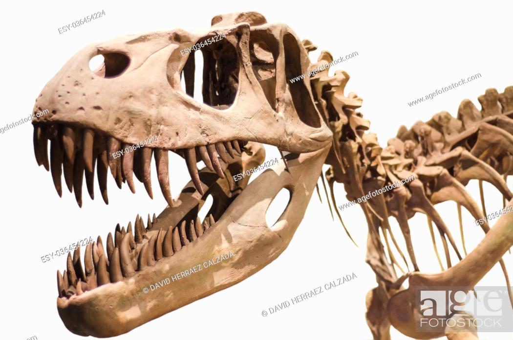 Stock Photo: Tyrannosaurus Rex skeleton on white isolated background.