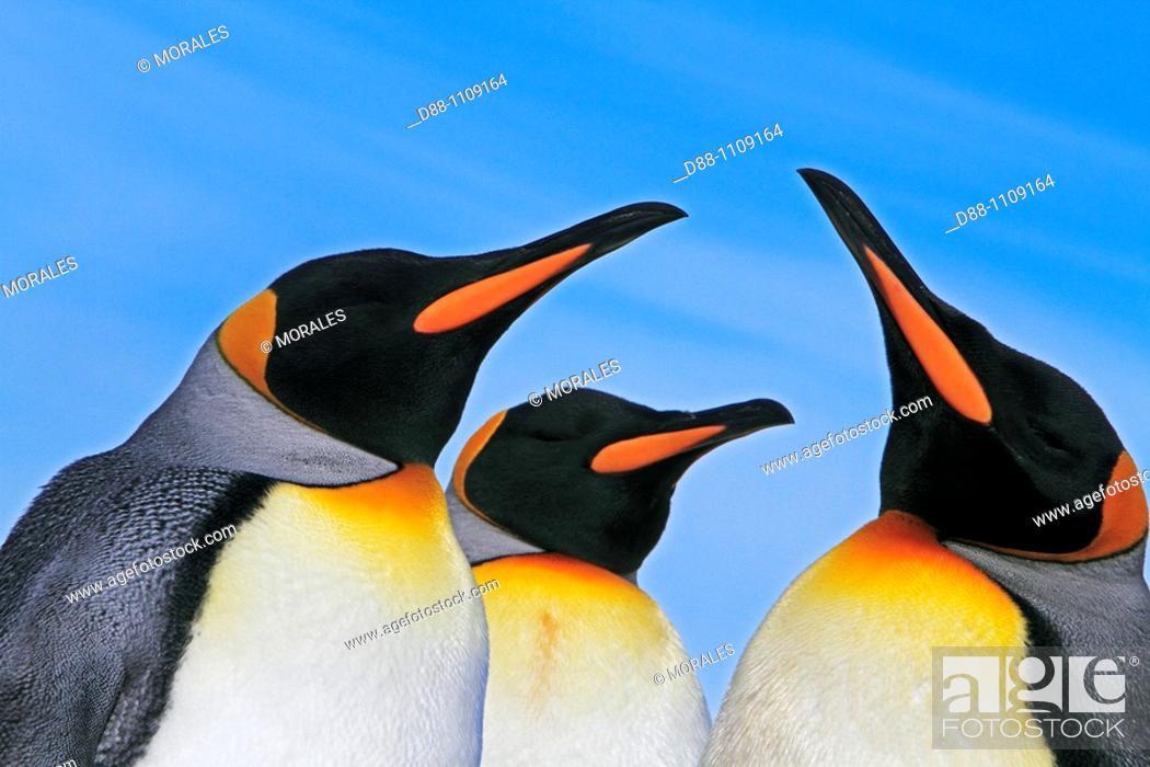 Stock Photo: King Penguin (Aptenodytes patagonicus). Saunders Island, Falkland Islands.