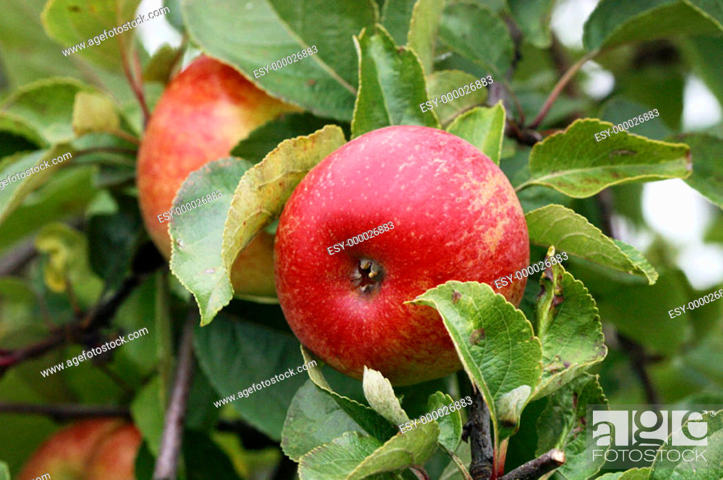 Stock Photo: A red apple in the tree.
