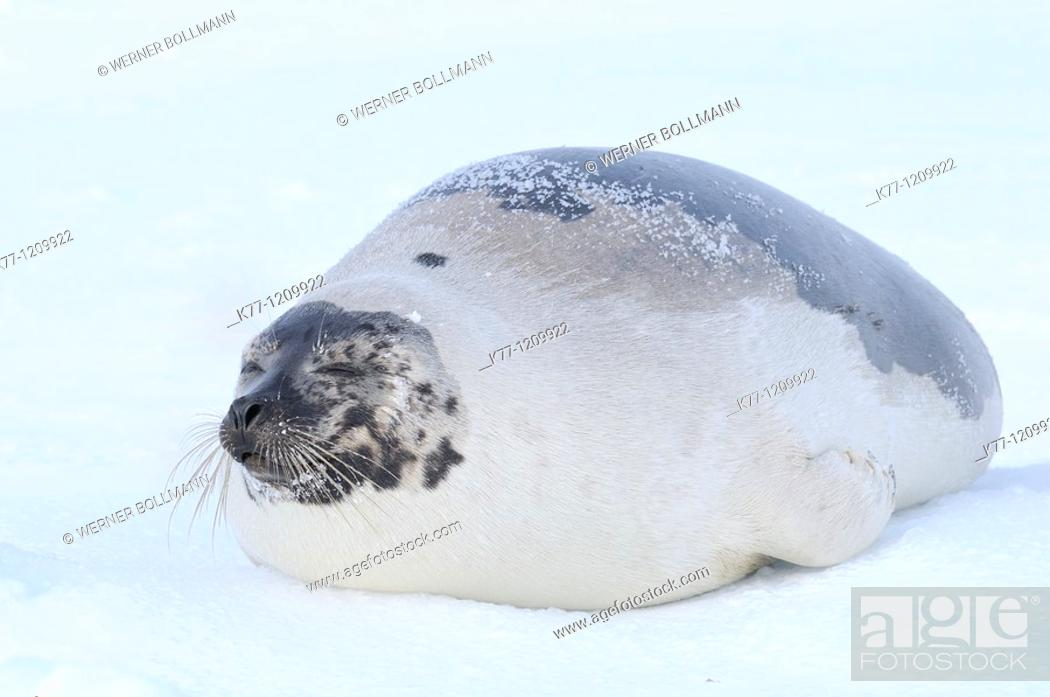 Stock Photo: Harp Seal (Phoca groenlandica), female, resting on pack ice, Magdalen Islands, Québec, Canada.