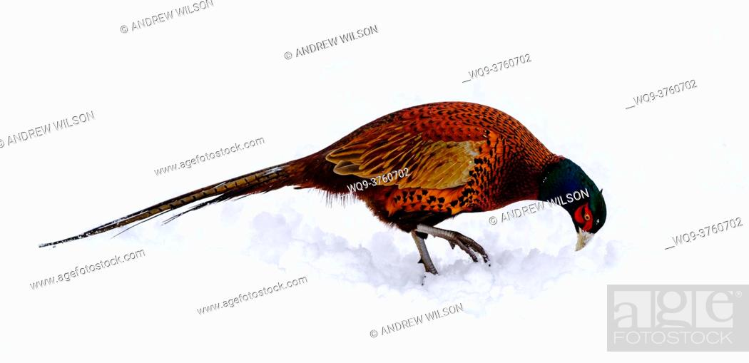 Stock Photo: One of Scotland's most colourful native birds, the male pheasant (Phasianus colchicus) struggles to find food after a heavy snowfall in South Lanarkshire.
